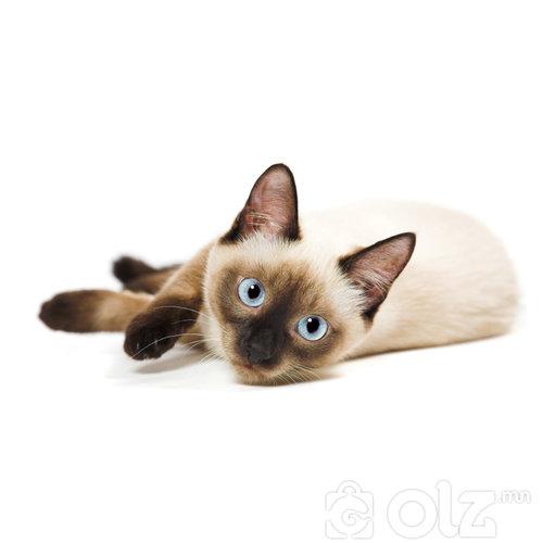 Сиам муур